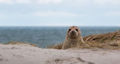 A sea seal is lying on a dune.