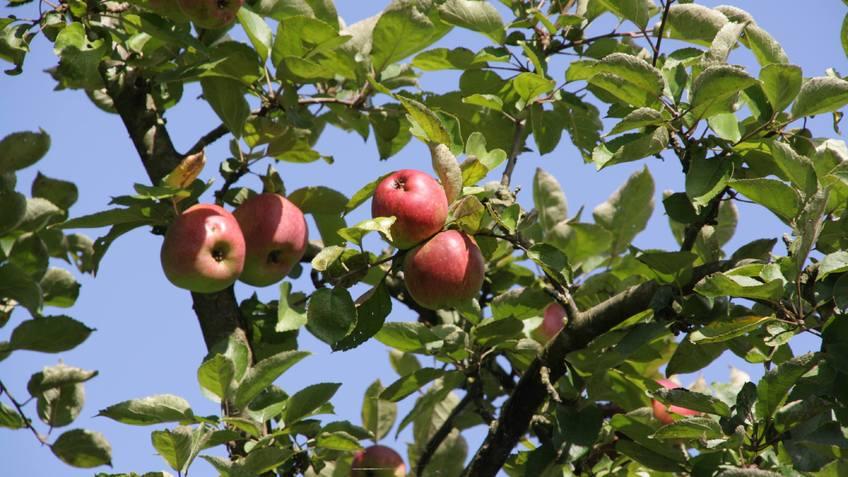 Reife Äpfel an einem Baum auf der Streuobstwiese Surheide