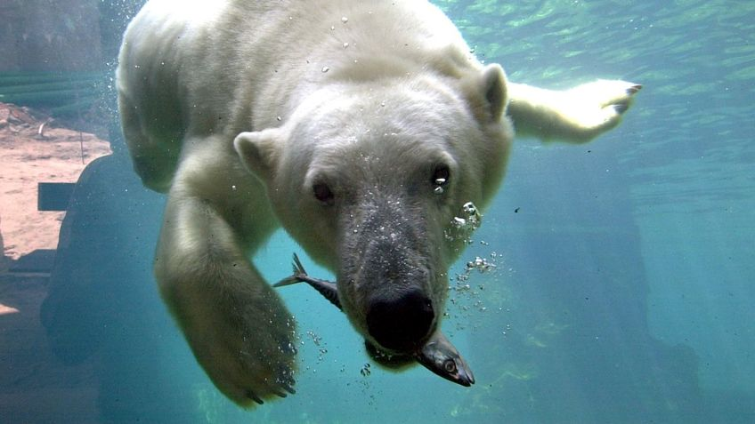 A polar bear under water.