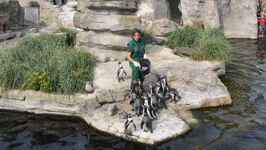 A zookeeper feeds penguins.