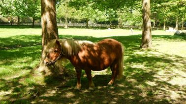 A pony stands in the shade under a tree.