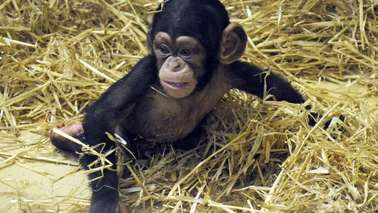 A young chimpanzee sitting on straw.