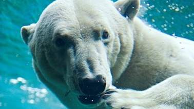 A polar bear swims under water.