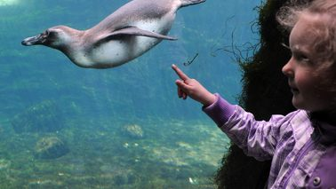 A penguin swims under water, a child standing in front of a glass window.