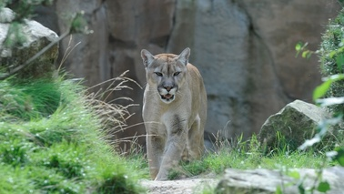 A Puma cat walks around the enclosure.