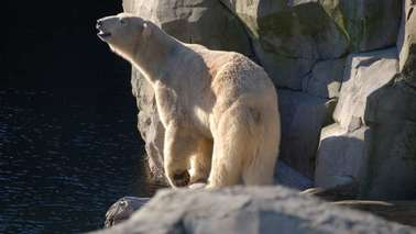 A polar bear in its enclosure.